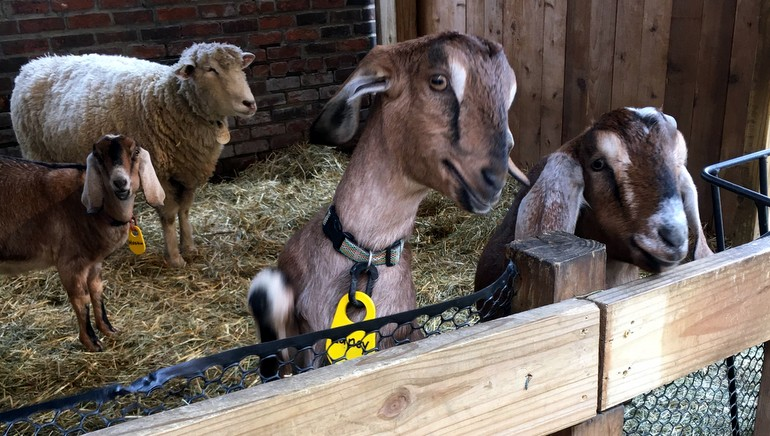 goats and sheep in pen