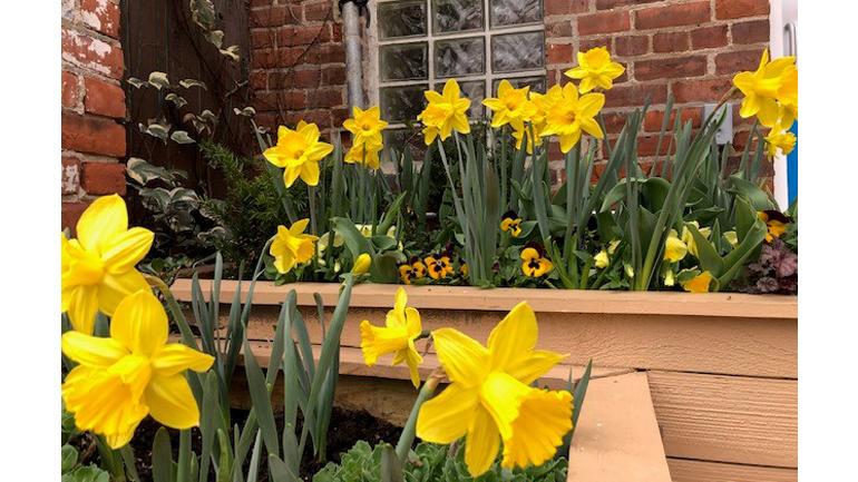 daffodils in flower box