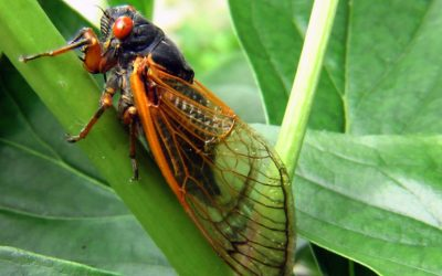 Franciscan Joy: Singing the praises of cicadas